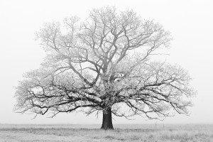 white-tree-1432153-m