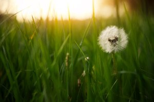 Dandelion green grass on spring meadow