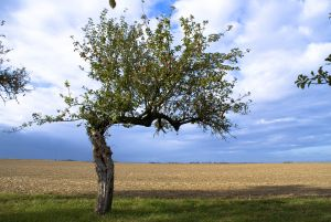 apple-tree-2-1235631-m